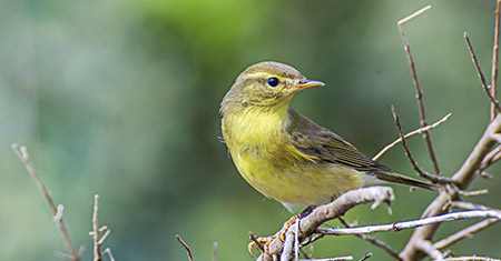 Golden-Cheeked Warbler:  Petition for Delisting Under Review