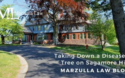 Taking Down a Diseased Tree on Sagamore Hill